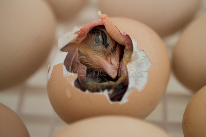 Babyvogel het Uitbroeden royalty-vrije stock fotografie