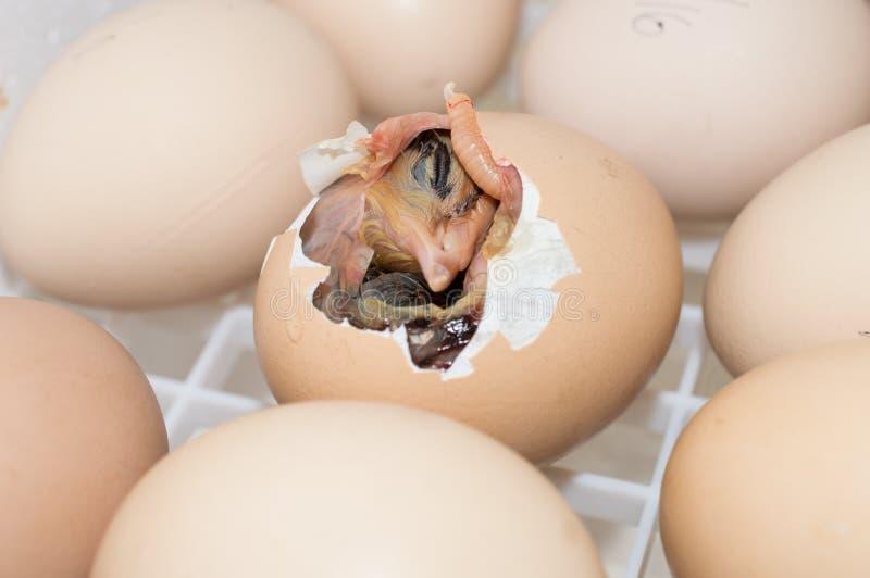 Babyvogel het Uitbroeden royalty-vrije stock foto