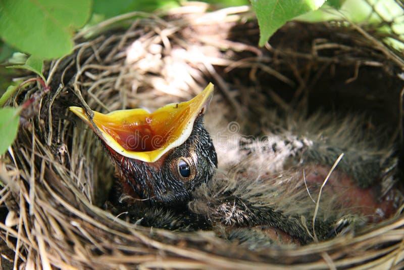 Babyvogel met open mond in nest royalty-vrije stock foto's