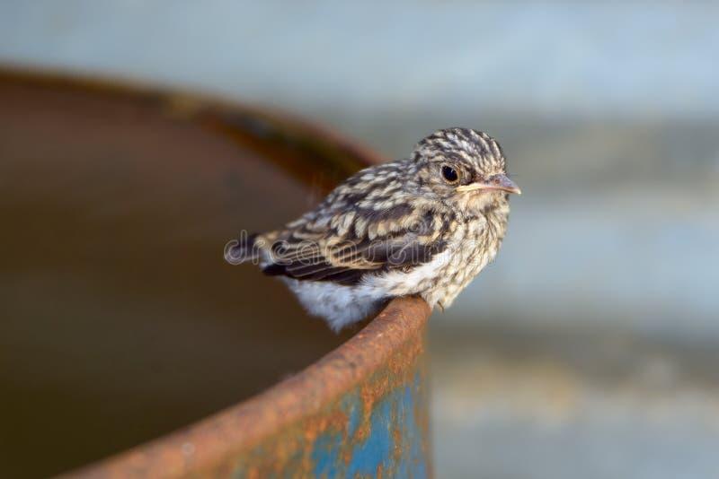 Babyvogel van een koekoek stock afbeeldingen