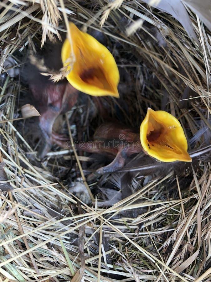 Babyvogelnest lizenzfreies stockfoto