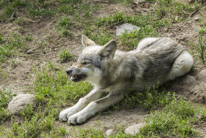 Babywolf stockbild