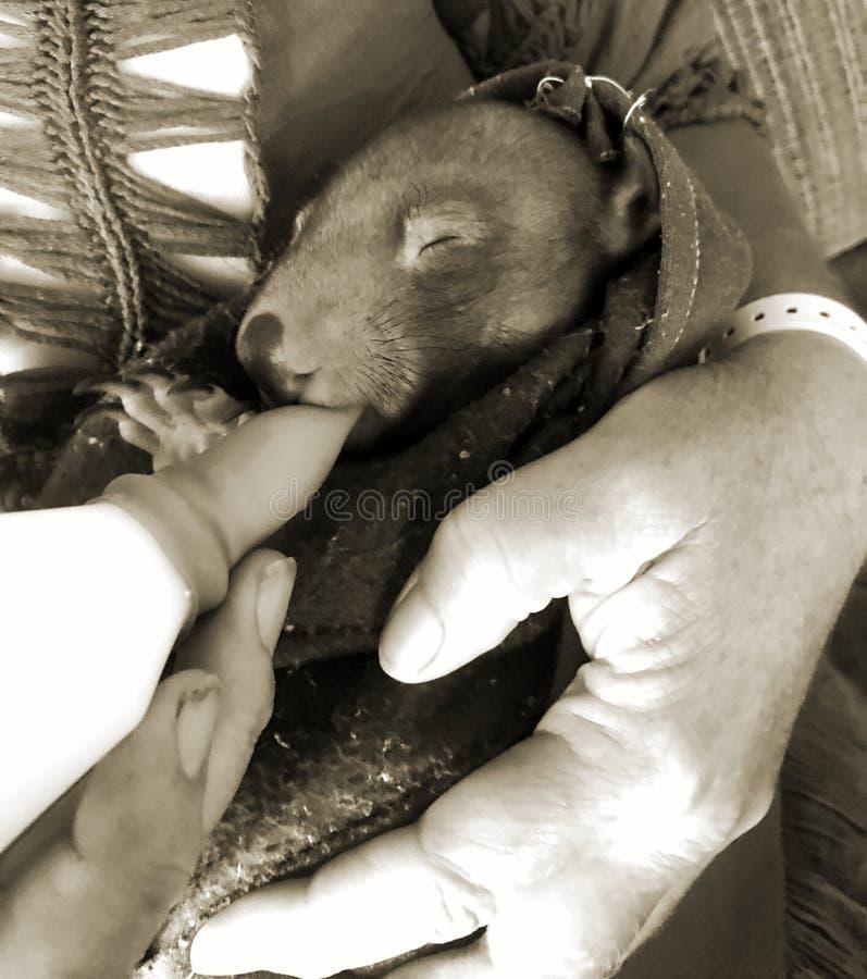 Babywombat die worden gevoed stock afbeeldingen