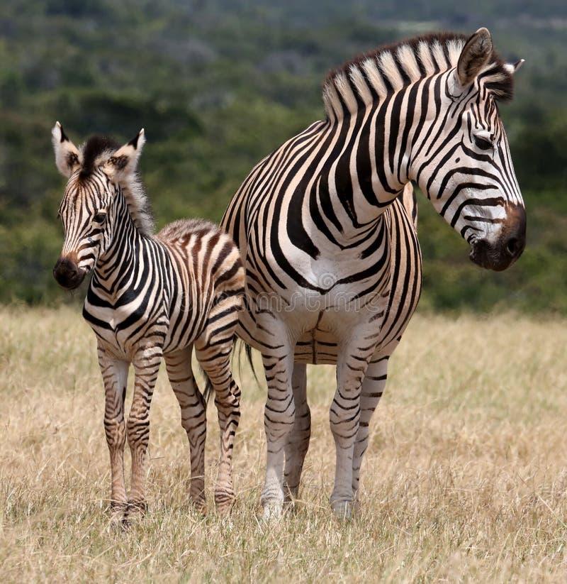 Babyzebra en Moeder stock foto's