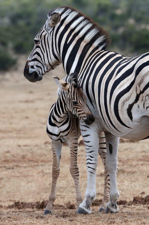 Babyzebra en Moeder stock afbeeldingen