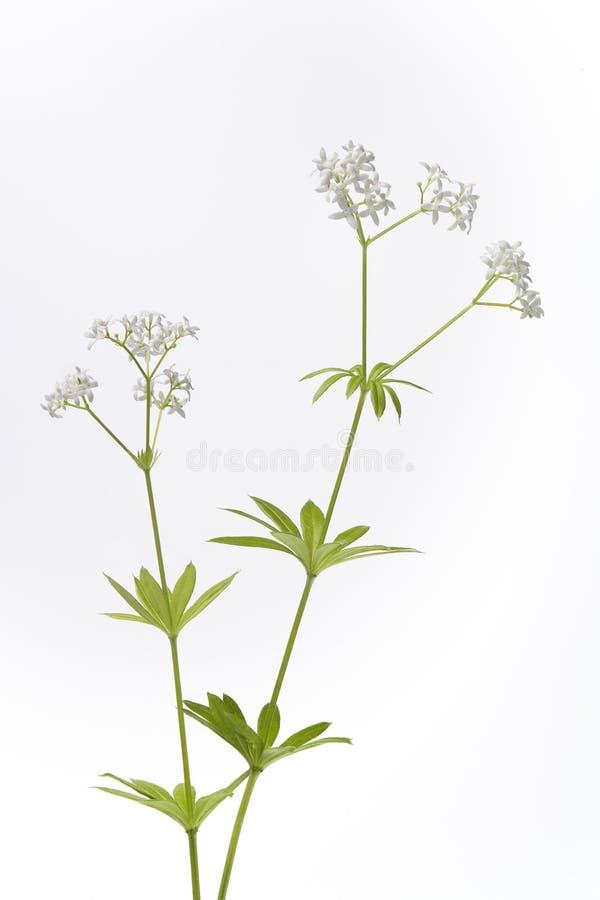 bac цветя свежий ясменник белизны листьев стоковое изображение rf