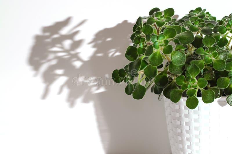 bac de fleur d?coratif Aichryson L'ombre de la fleur dessus photo stock