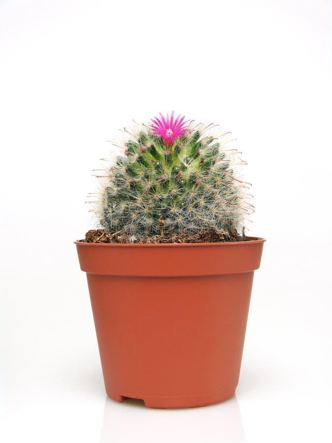 bac de floraison de cactus image libre de droits