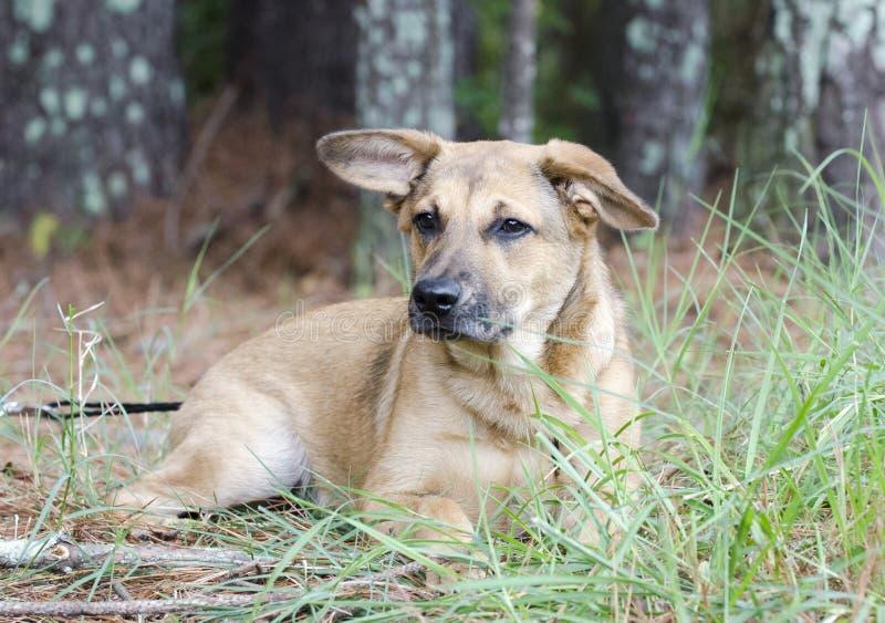 Baca mieszający trakenu mutt szczeniaka pies zdjęcia royalty free