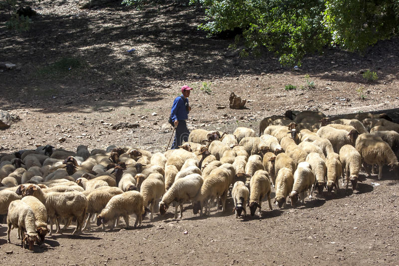 Baca pasa jego cakle na górach blisko Azrou w Maroko fotografia stock