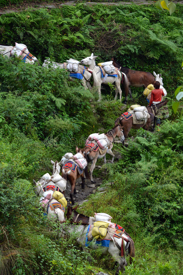 Baca z karawaną osły niesie dostawy w Cześć obraz stock
