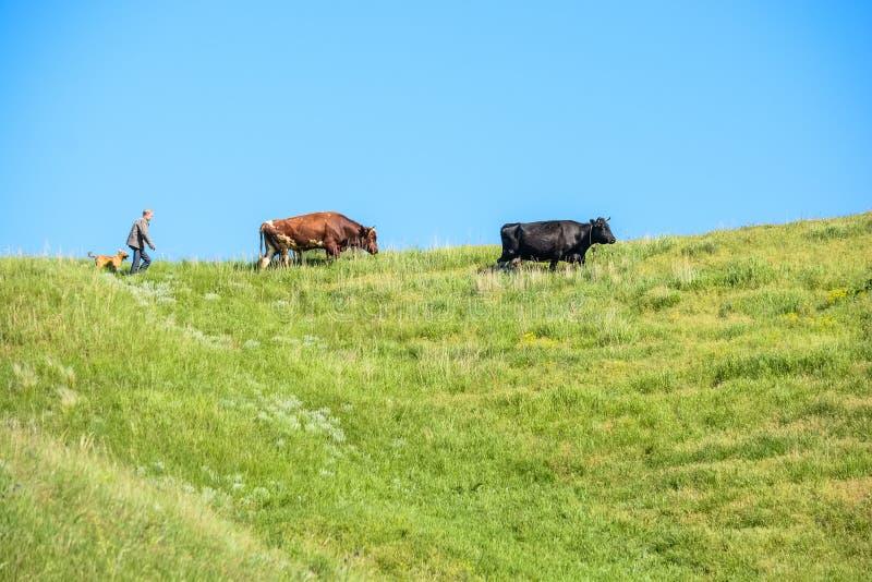Baca z psem chodzi po krów na słonecznym dniu fotografia stock