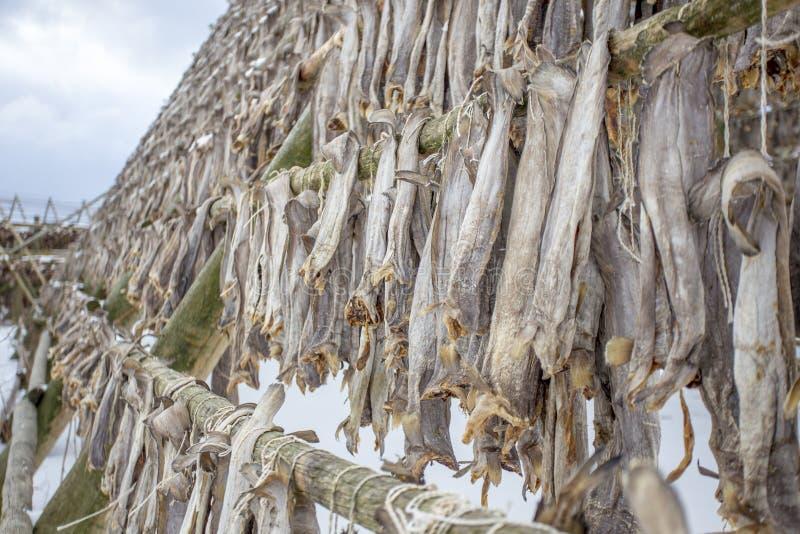 Bacalhaus nas cremalheiras de secagem, Lofoten, Noruega fotografia de stock royalty free