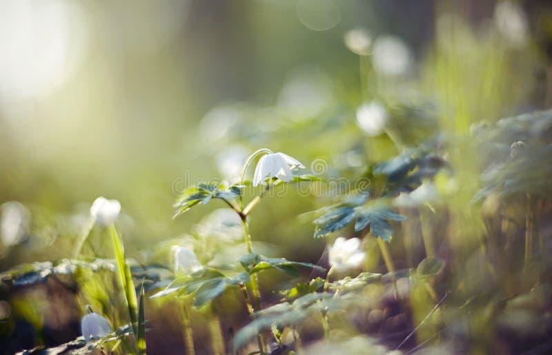 Download BacBackground Met De Lentesleutelbloemen - Bloemen Van Anemony Stock Afbeelding - Afbeelding bestaande uit botanisch, bloei: 107706799