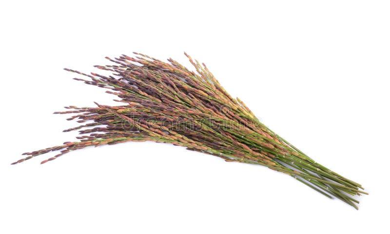Bacca del riso su fondo bianco fotografie stock libere da diritti
