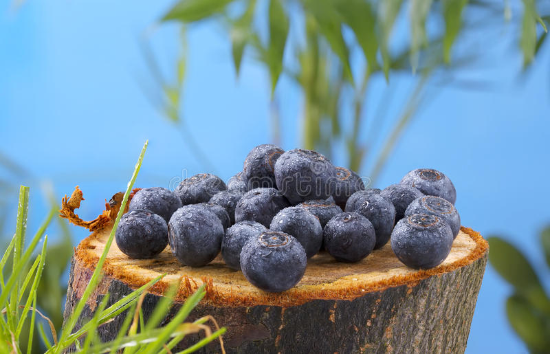 Bacca della foresta del mirtillo su un bello ceppo nella foresta fotografie stock libere da diritti
