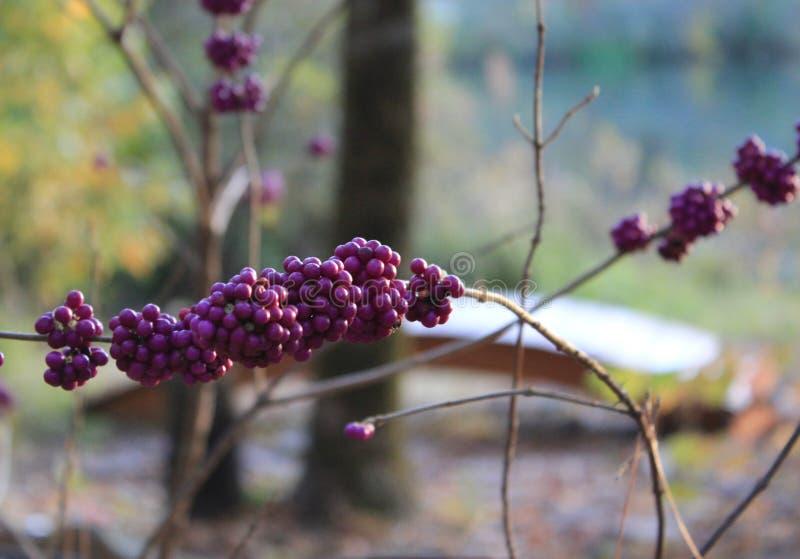 Bacca di porpora di Beautyberry fotografie stock libere da diritti