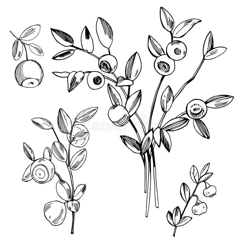 Bacca disegnata a mano della foresta Mirtillo, mirtillo Illu di schizzo di vettore royalty illustrazione gratis