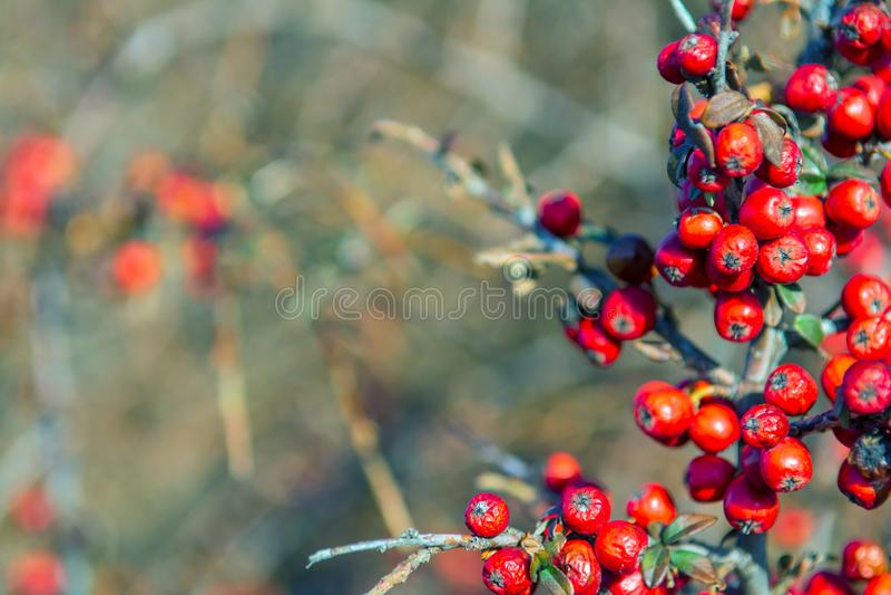 Bacca rossa leggermente secca sul cespuglio psychedelic Buffaloberry d'argento, argentea di Shepherdia fotografia stock libera da diritti