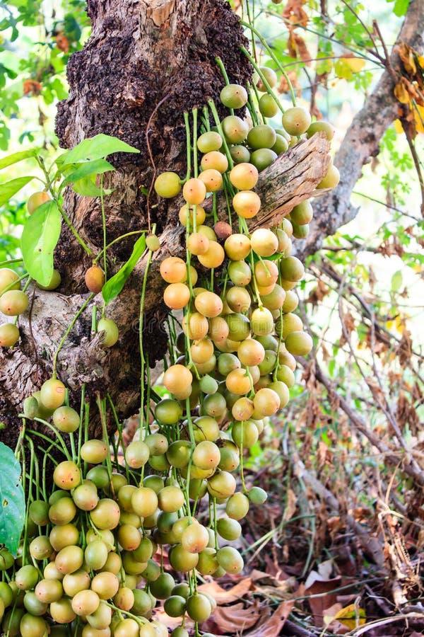 Baccaurearamiflora op de boom stock afbeeldingen