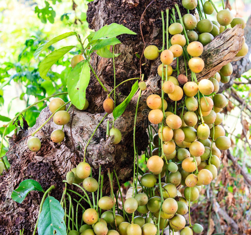 Baccaurearamiflora op de boom royalty-vrije stock fotografie