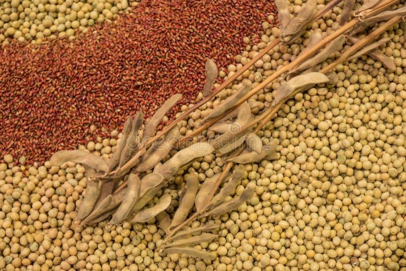 Baccelli asciutti della soia che mettono su un mucchio dei fagioli della soia immagini stock