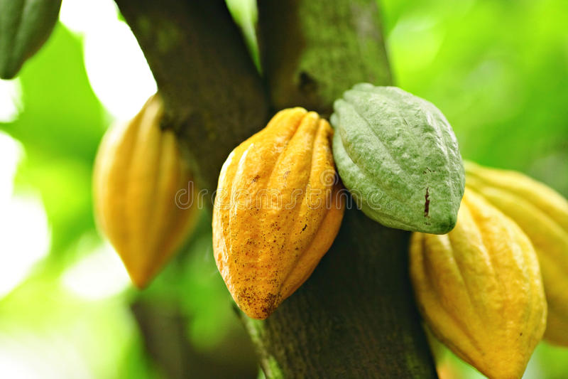 Baccelli del cacao fotografia stock libera da diritti