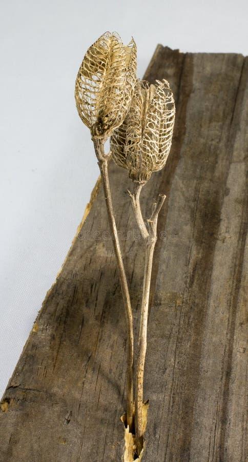 Baccelli del seme sul bordo di legno anziano immagini stock