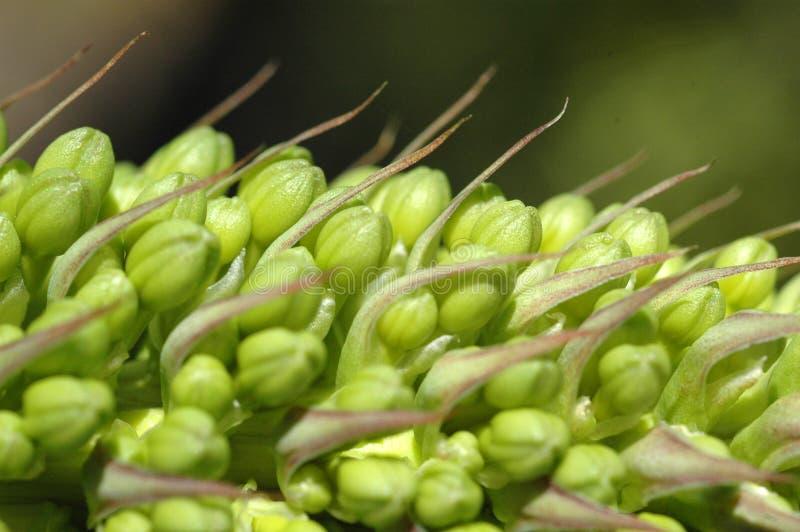 Baccelli di pianta fotografie stock libere da diritti