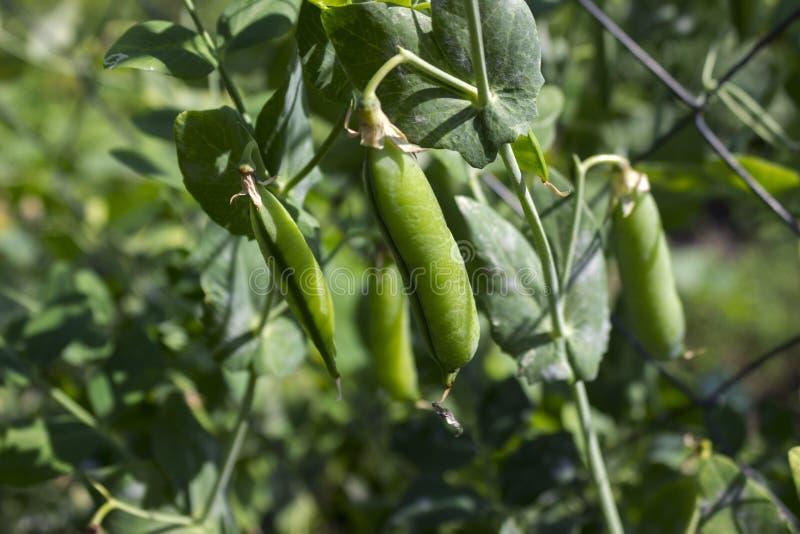Baccelli di pisello che appendono sulla pianta nel giardino, legume immagini stock