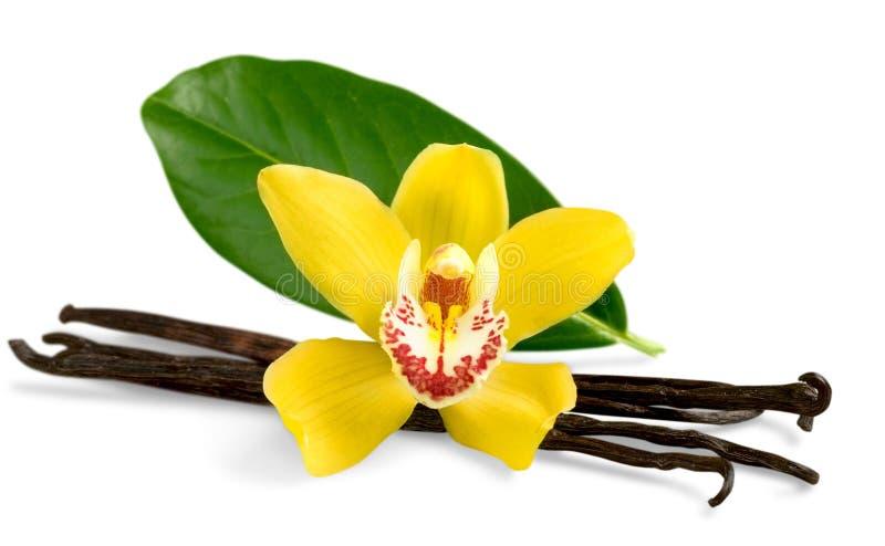 Baccelli e fiore della vaniglia isolati su bianco fotografie stock