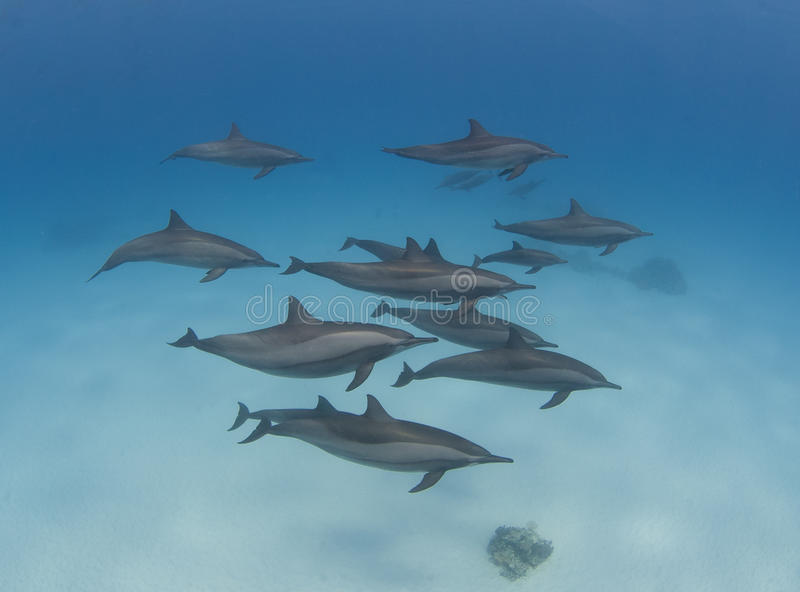 Baccello dei delfini selvaggi del filatore fotografia stock libera da diritti