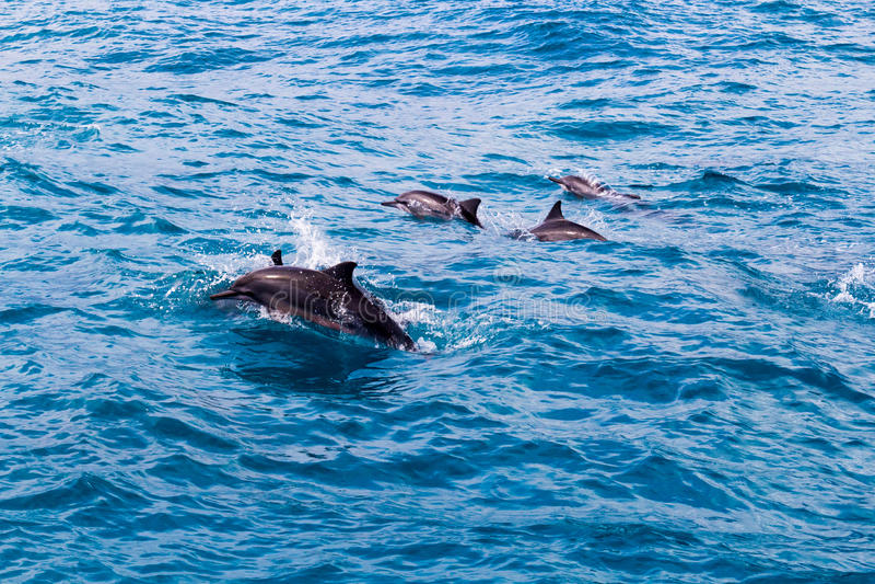 Baccello del delfino immagine stock