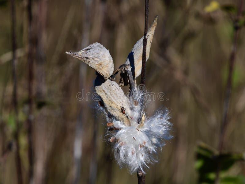 Baccello del Milkweed che libera i semi fotografia stock