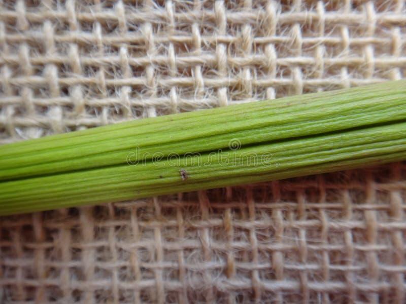 Baccello dell'oleandro fotografia stock libera da diritti