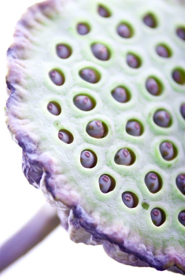 Baccello della frutta del fiore di loto fotografia stock