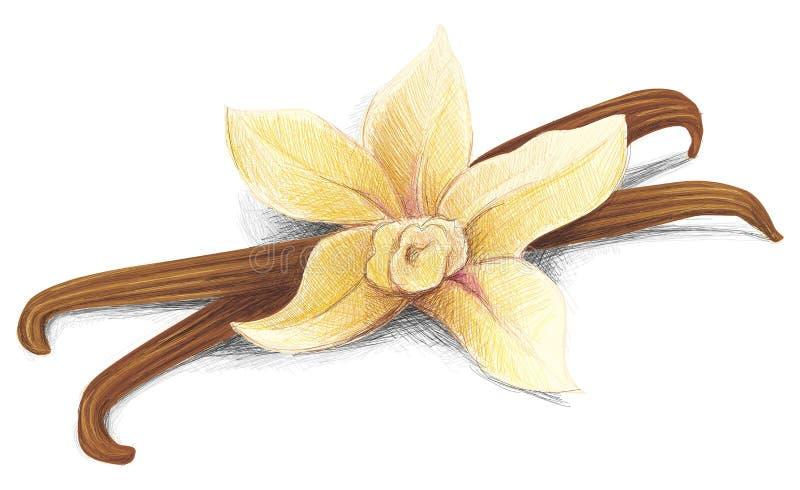 Baccello della vaniglia royalty illustrazione gratis