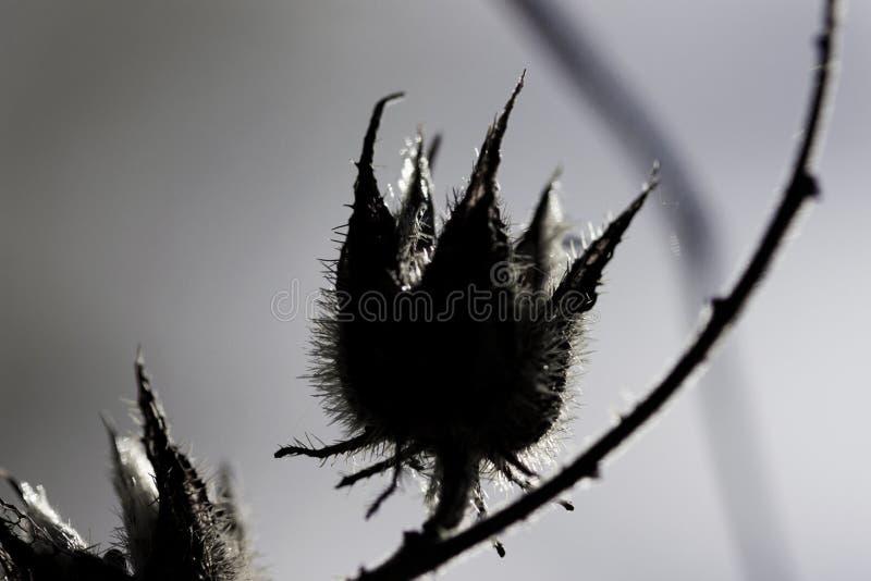 Baccello morto del seme immagini stock