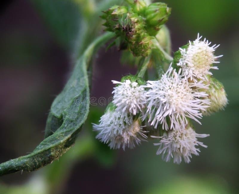 Baccharis Salicifolia of de algemeen geroepen Muilezel vette bloem kijken mooi en elegant als bloemen in Japan stock afbeelding