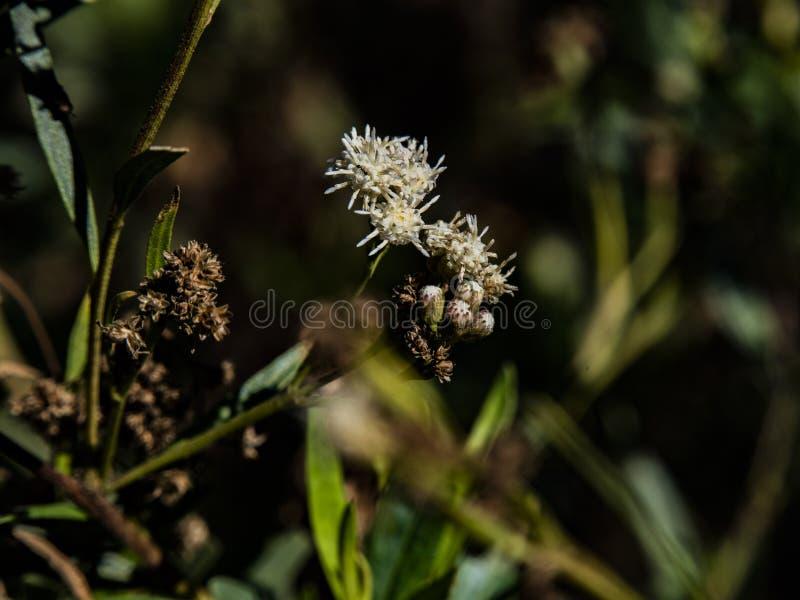 Baccharis salicifolia plant at Balboa Lake in San Fernando Valley, Los Angeles royalty free stock photos