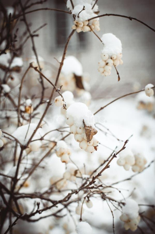 Bacche bianche fotografie stock