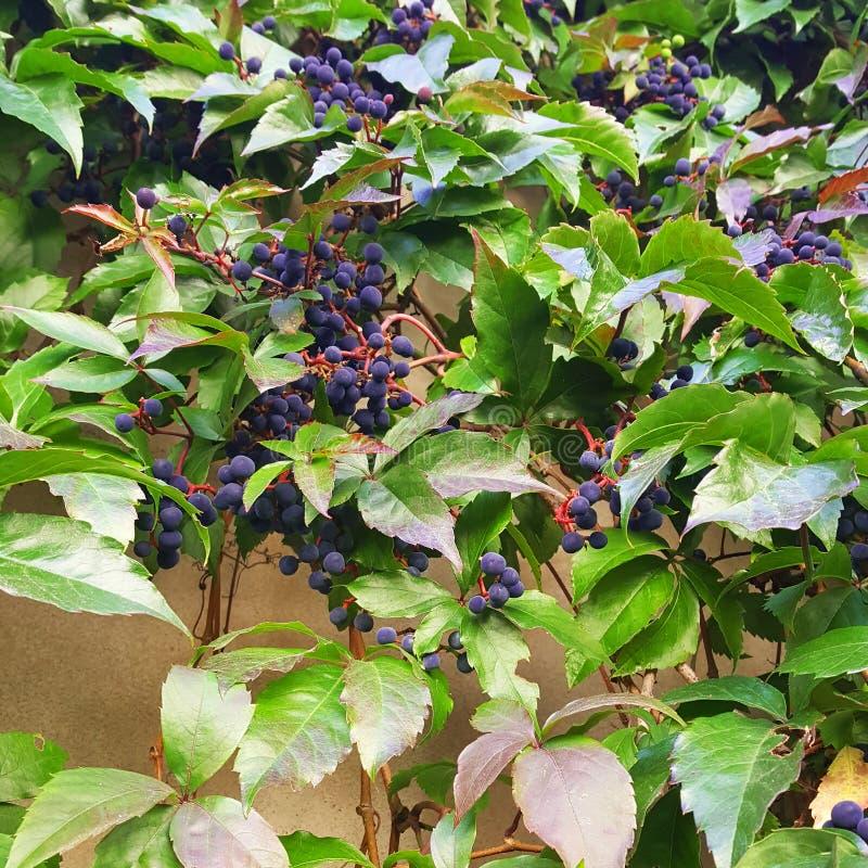 Bacche blu scuro e foglie verde intenso fotografia stock