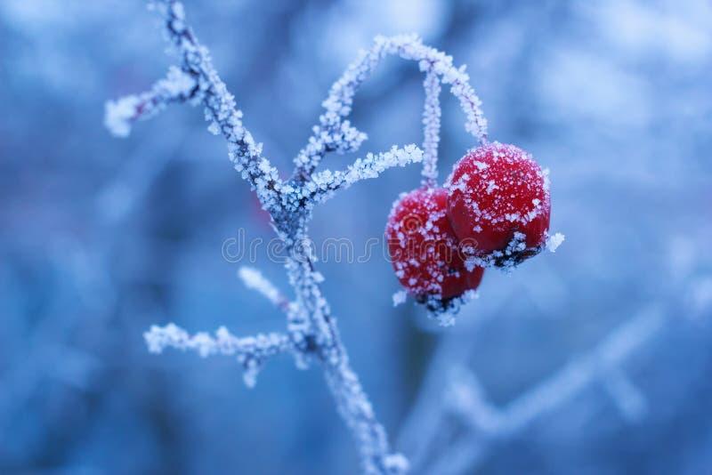 Bacche congelate inverno di cratego sul ramo con il gelo del ghiaccio immagini stock