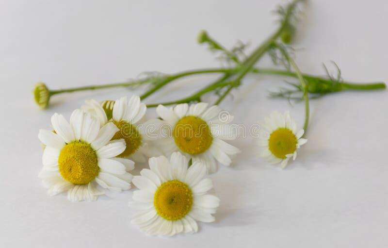 bacche del lampone e fiore della camomilla Trattamento freddo ethnoscience immagine stock libera da diritti