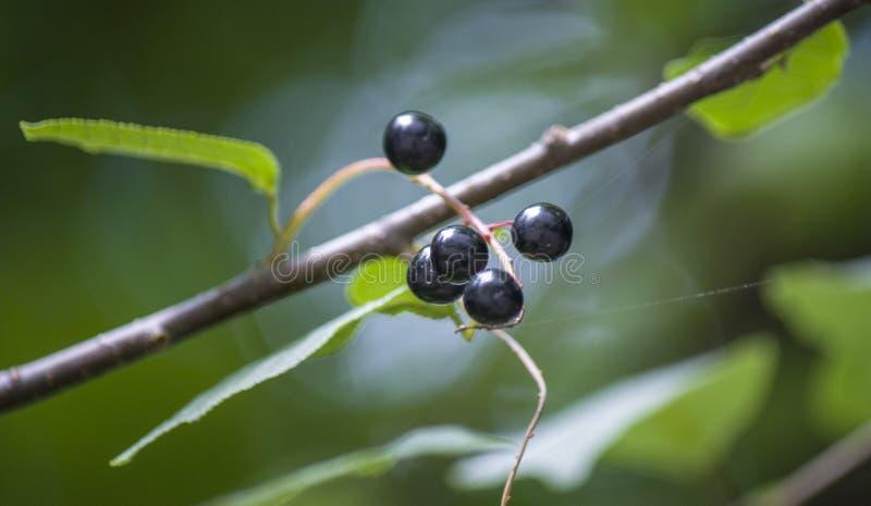 Bacche del ribes nero su un ramo di albero fotografie stock libere da diritti