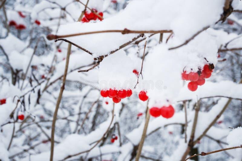 bacche del viburno dei krass su un ramo sotto la neve nell'inverno fotografia stock libera da diritti
