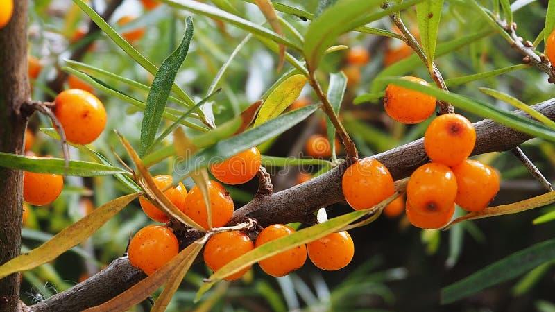 Bacche dell'olivello spinoso su un ramo fotografia stock