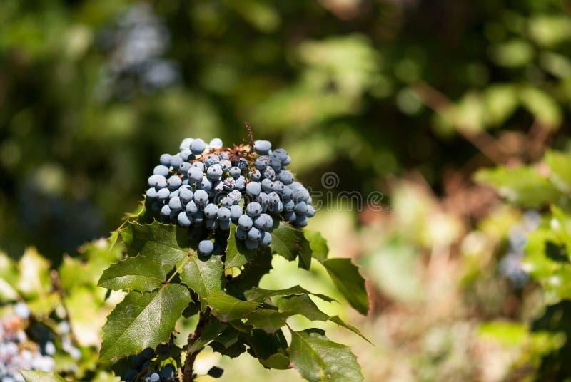 Bacche dell'uva di Oregon immagine stock libera da diritti
