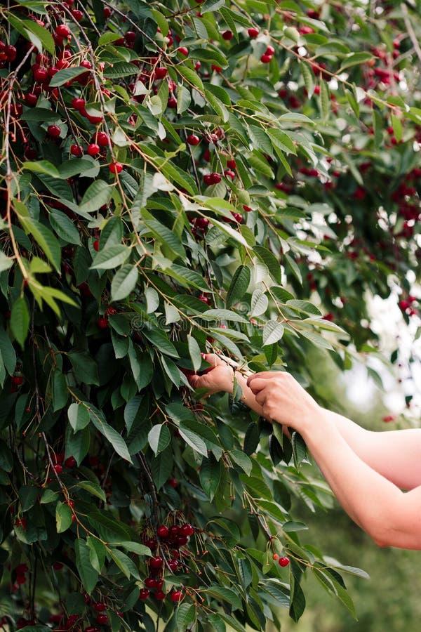 Bacche della ciliegia di raccolto della donna dall'albero fotografie stock libere da diritti