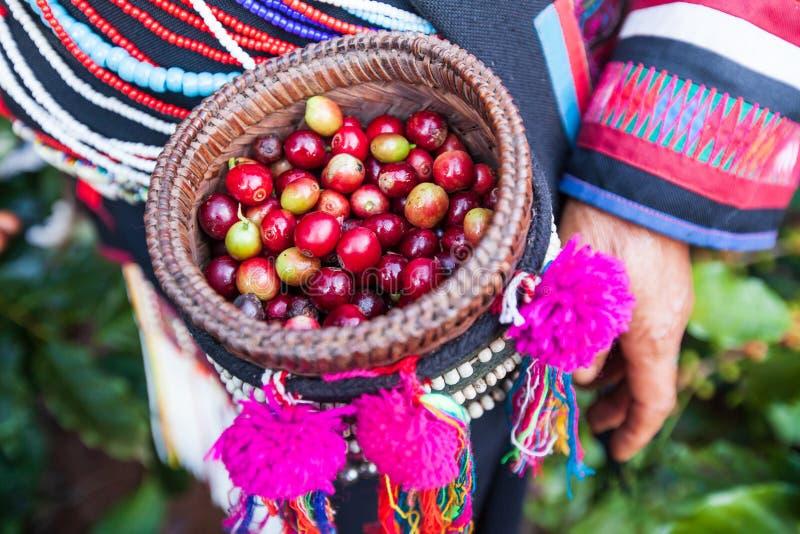 Bacche di caffè Arabica fresche in bello canestro di vimini della tribù immagine stock